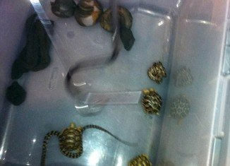 Seven snakes and three tortoises were packed in women's pantyhose and found in the man's pants