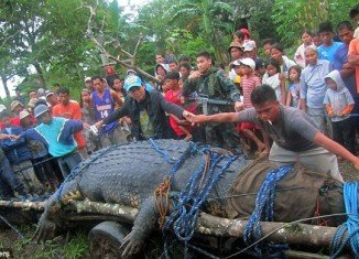 World's largest crocodile has been caught in Philippines