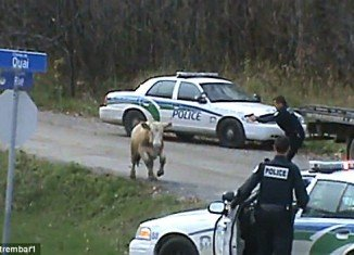 Canadian police officers shot and killed two cows that escaped on their way to the slaughterhouse on a rural road in Gatineau, Quebec on Thursday afternoon