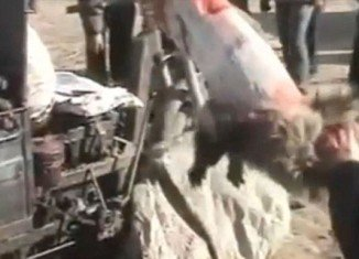 Workers in China skinning an alive raccoon dog