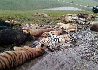Zanesville police shot 48 exotic animals, including 18 rare Bengal tigers and 17 lions, after Terry Thompson threw their cages open and committed suicide