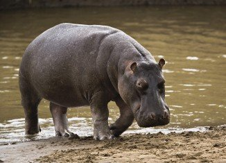 """Marius Els, a South African farmer has been killed by his pet hippo he raised from the age of five months, and which he once described as being """"like a son"""" to him"""