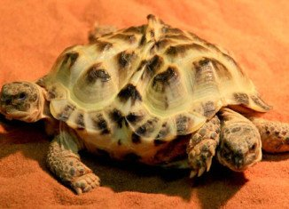A two-headed tortoise with two hearts and six legs has gone on show on Friday at the exhibition called Live Dragons at a natural science museum in Kiev, Ukraine