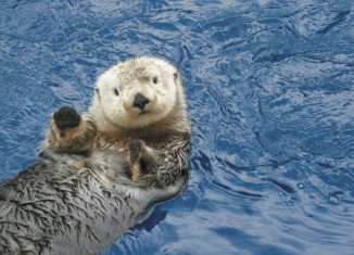 According to experts, shark attacks may be to blame for the significant decline in sea otter populations around the California coast