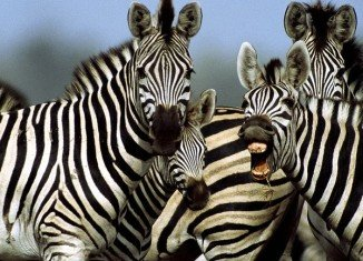 How zebras evolved their characteristic black-and-white stripes has been a long time subject of debate among scientists