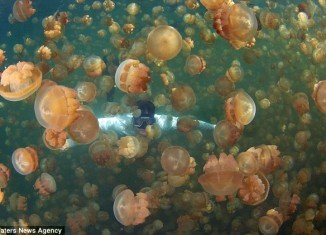 Jellyfish Lake, based on the Pacific island of Palau, is the only place in the world where tourists can safely swim amongst millions of jellyfish