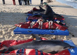 More than 100 dolphins have now beached off Cape Cod, Massachusetts, as mammals continue to get inexplicably stranded on the region's beaches