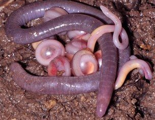 Scientists have discovered a new family of caecilians, the most enigmatic branch of the amphibians, in northeastern India