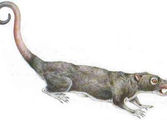 Multituberculates are the only major branch of mammals to have become completely extinct, and have no living descendants