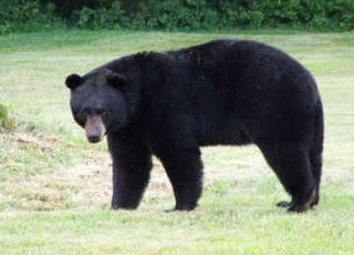 Researchers have found that black bears have a surprising capacity to heal while hibernating