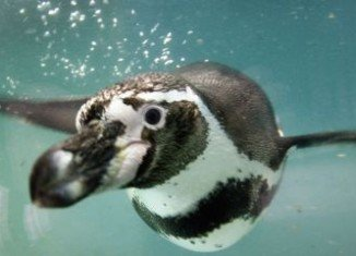 Tokyo Sea Life Park is trying to locate an escaped Humboldt penguin seen heading for Tokyo Bay
