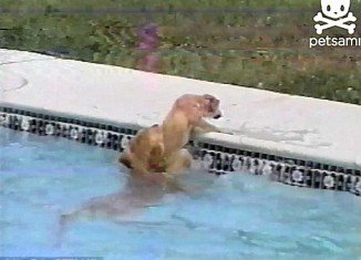A golden retriever puppy was rescued from drowning into a backyard pool by its mother