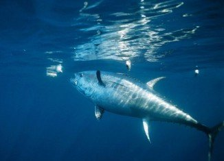 A record radioactive contamination from last year's Fukushima nuclear accident has been detected in Pacific Bluefin tuna caught off the coast of California