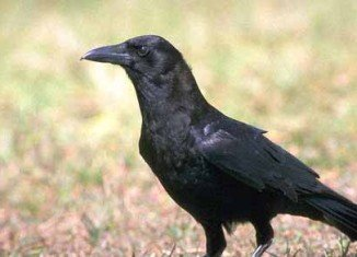 Researchers have discovered that crows recognize familiar human voices and the calls of familiar birds from other species