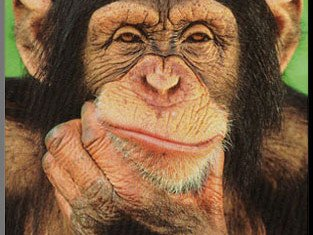 """Researchers have found that chimpanzees and orangutans really do have personalities """"like people"""""""