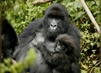 Gorillas have a wide repertoire of communication gestures, so the team focused on facial expressions and hand signals used in play