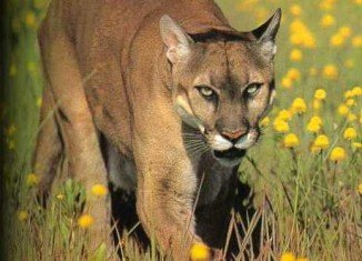 Scientists have announced that the American mountain lion or cougar is now re-populating US Midwest
