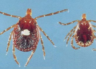 The lone star tick (Amblyomma Americanum) only causes a tiny little prick on your skin, but what follows next is a complete and potentially life-long, aversion to meat