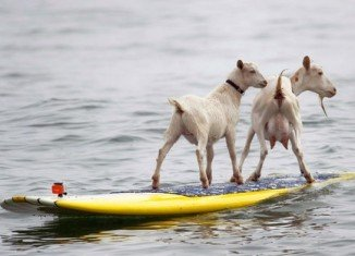 Beachgoers in California have been treated to the unusual sight of two goats surfing the waves
