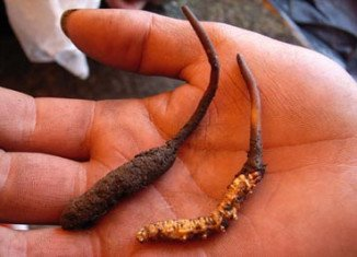 Rare caterpillar fungus, dubbed Indian Viagra, is starting to transform local economies in the Himalayas