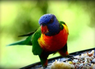 """Traffic has found that the Solomon Islands has become a hub for """"laundering"""" wild birds into the global captive-bred bird trade"""