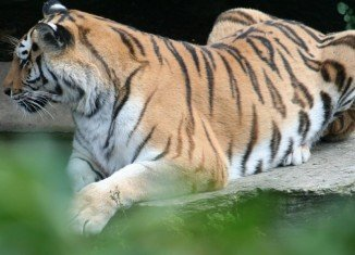 A tiger has mauled to death a female keeper at a zoo in the western German city of Cologne