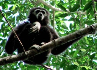 Japanese researchers have discovered that lar gibbons use the same techniques as human soprano singers to make their melodic but piercing calls