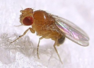 Scientists believe they have discovered a clue to why women tend to live longer than men by studying fruit flies