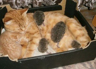 Sonya, the ginger cat from central Russia, only had one kitten of her own meaning there was plenty of milk to spare, so she readily adopted the four baby hedgehogs into the family