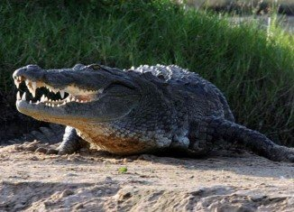 About 15,000 crocodiles have reportedly escaped from the Rakwena Crocodile Farm in South Africa's far north amid heavy rains and flooding