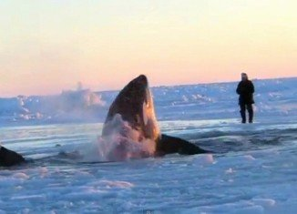 Authorities of Inukjuak, a remote Quebec fishing village, have asked Canada's government to help free a dozen killer whales trapped in a vast stretch of ice inside Hudson Bay
