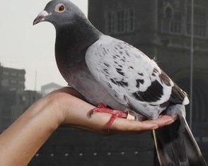 """Scientists have announced that the mystery of the """"Bermuda Triangle"""" of the homing pigeon world may have been solved"""