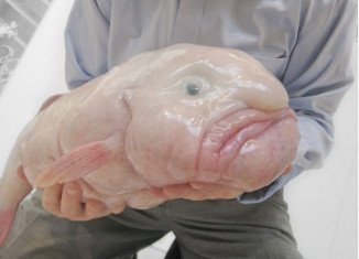 Blobfish has won a public vote to become the official mascot of the Ugly Animal Preservation Society