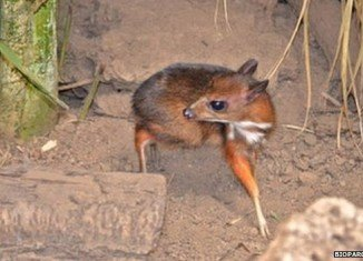 The Java mouse-deer newborn deer is no bigger than a hamster and weighs about 100 grams