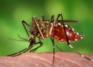 Chikungunya virus is spread by two species of mosquitoes, aedes aegypti and aedes albopictus