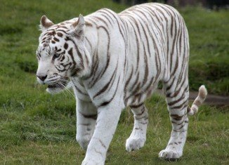 White tigers are a rare variant of the customary orange Bengal sub-species
