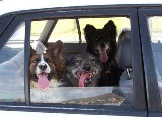 dogs-in-car